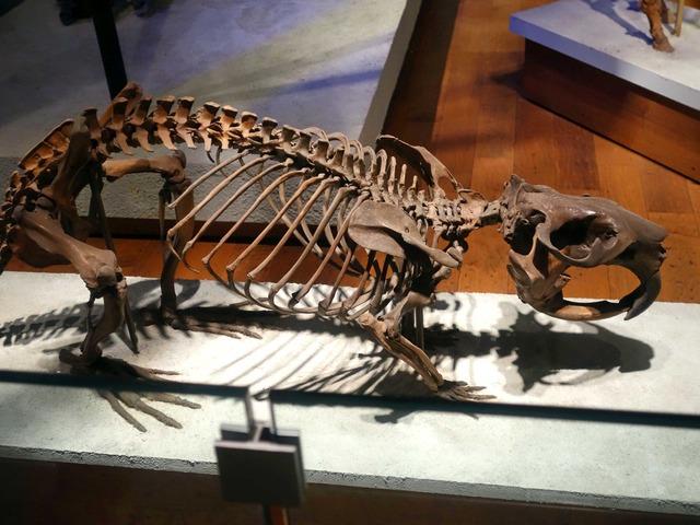 ジャイアントビーバーの骨格標本_edit