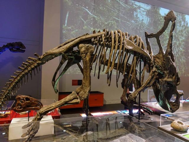 トリケラトプスの骨格標本 2_edit