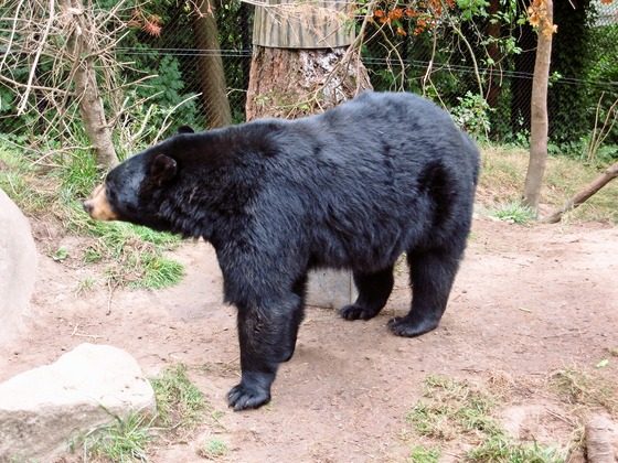 American black bear 9_edit