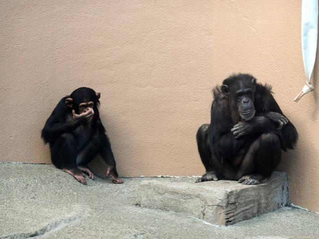 チンパンジー 4_edit