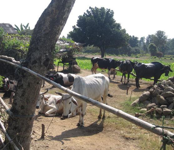 インド牧場