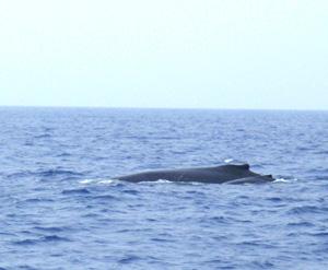 ザトウクジラの親子