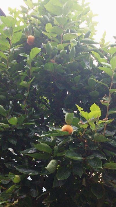 b170920柿の実