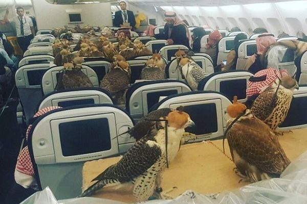 【画像】サウジアラビアの王子、飛行機のチケットを80席分購入し80羽のハヤブサを乗せて旅行する