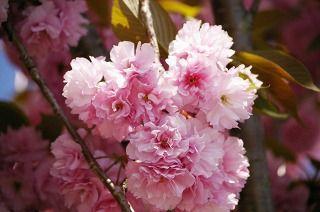 花びらがたくさんある八重桜