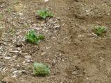 別件だが、ジャガイモ男爵もやっと芽が出だした。