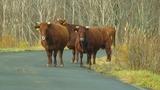 この時期は牛が大量に脱走する事もあるそうな