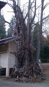 枯れかけているようにも見えるが、見ごたえある老木