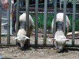 二匹の羊が首を出して草をたべていたのだが・・・・