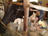 県内の牧場で乳しぼり、積極的な次女はおっかなびっくりではない