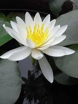 睡蓮は一年に一回ごく短い間に咲くが、本当に可憐です