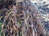 収穫した大豆、天日に干すらしい