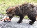 餌をやってて、重大な事を発見した、このタヌキは深刻な疥癬病にかかってる。
