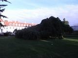 この木なんの木を別角度で撮影。超しだれているぞ