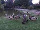 公園の池では鴨が沢山親子でくつろいでいた