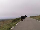 道に現れた逃亡牛。車ではねそうになった。