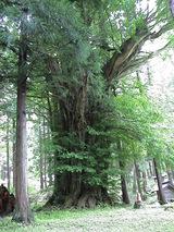 トトロの木をハケーン