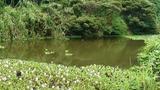 ホテイアオイ?みたいな浮き草の合間に池が覗いている感じ