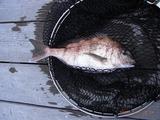 一時間半で、3匹の鯛釣り上がるが、驚くべき大漁だ