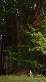 天台寺境内にあるトトロの木みたいな木、すごい迫力