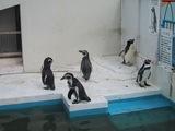 ノシャップ岬のペンギン