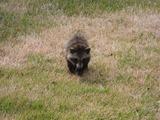 餌付けされていない、野生のタヌキが昼間しかも、近づいても逃げない状況は不思議だった。