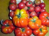 今年はトマトやミニトマト、ナス、きゅうりなど豊作だ