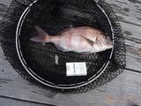 ホテルのプライベートビーチで鯛が釣れた