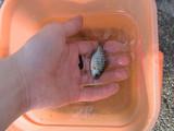 ダイナマイザーが吊り上げたのはなんと外来種の迷惑魚ブルーギル!!