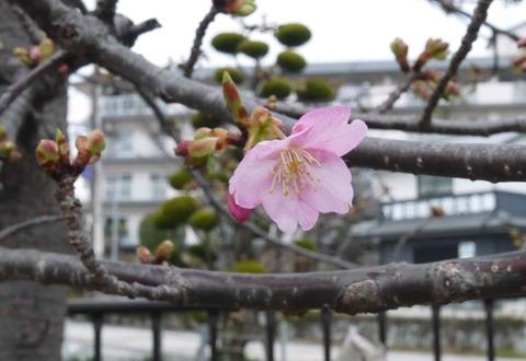kawazu_sakura20200215_3