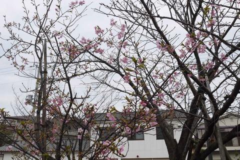 kawazu_sakura20200215_2