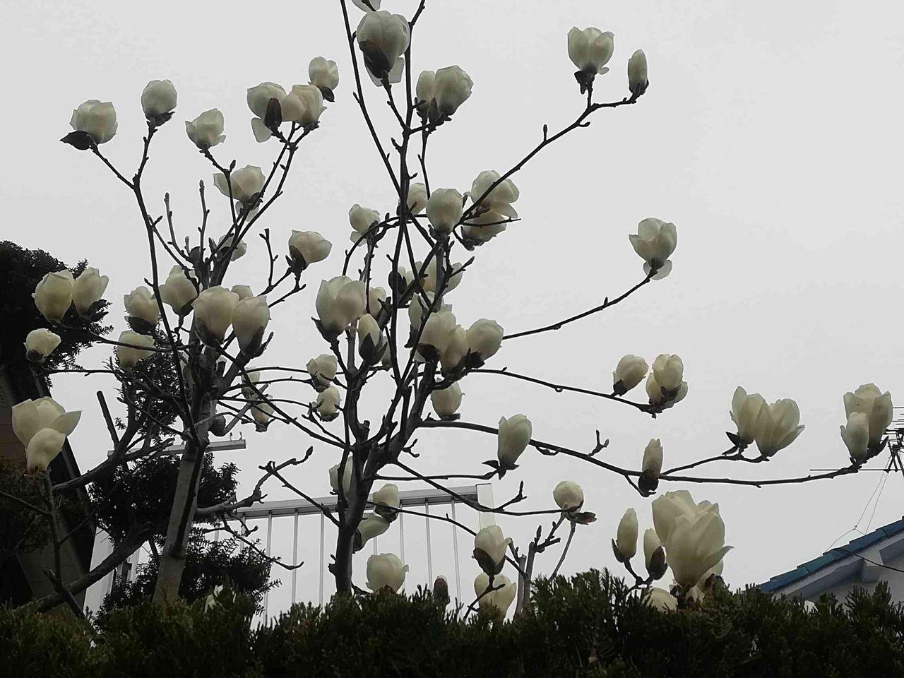 に 白い 花 咲く 春
