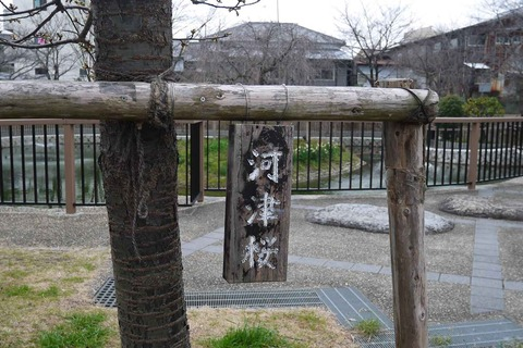 kawazu_sakura20200215_5