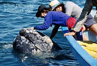 クジラにまとわりついてるシラミが尋常じゃない数の件