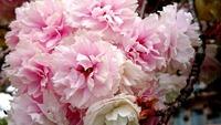 1704 八重桜 F