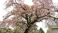 1704 八重桜 C