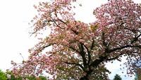 1704 八重桜 B