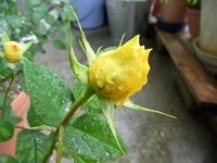 1105 ミニバラ 黄色 A
