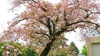 1704 八重桜 D