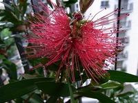1105 マキバブラシの木 A