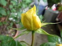 1105 ミニバラ 黄色 C