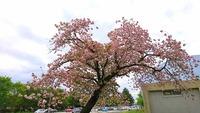 1704 八重桜 E