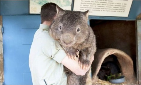 the_oldest_living_wombat_in_the_world_640_05