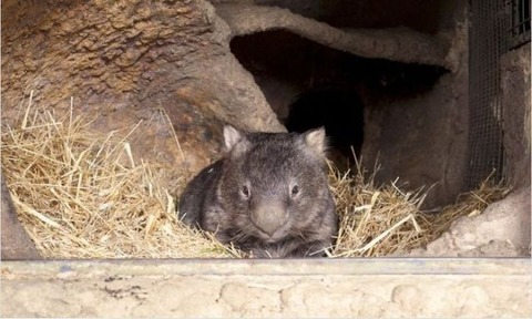 the_oldest_living_wombat_in_the_world_640_03