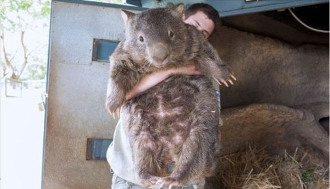 the_oldest_living_wombat_in_the_world_640_06