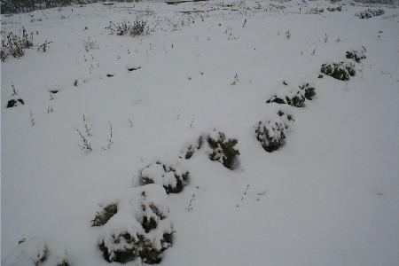 4217雪の畑キャベツ