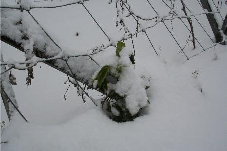 4212雪の畑エンドウ