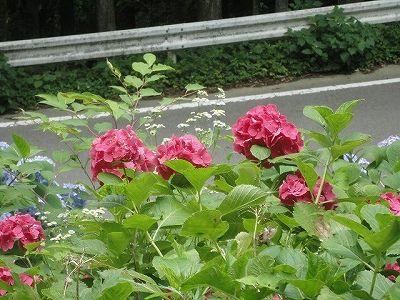 07-15ajisai-d