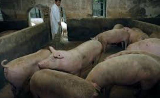 【韓国経済崩壊】韓国人「韓国で豚コレラが派生!27万頭屠殺の可能性‥感染源の済州道の豚の半分が被害を受ける」