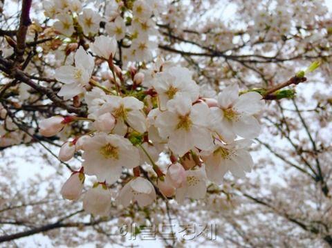 【韓国起源】 「日本の国花だから…」桜を楽しむのが気まずい?韓国国立山林科学院「日本王桜の原産地は漢拏山」